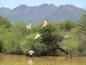 Fliegende Afrikanischer Löffler3_African Spoonbill_Platalea alba auf Farm Hazeldene Namibia