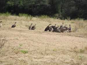 Geier an einem verendeten Kudubullen auf Farm Hazeldene Namibia