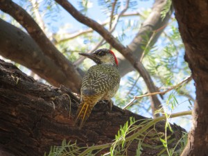 Goldschwanzspecht- Golden-tailed Woodpecker_Campethera abingoni (2)