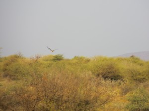 Riesentrappe_Kori Bustard_Ardeotis kori fliegt über namibischen Busch auf der Farm Hazeldene