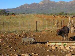 Rind meets Warzenschwein