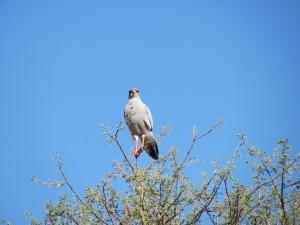 Weißbürzel-Singhabicht_Southern Pale Chanting Goshawk_Melierax poliopterus
