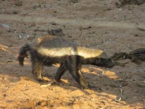 Honigdachs_Honey badger_Mellivora capensis
