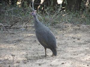Perlhühnern_Helmeted Guineafowl_Numida meleagris