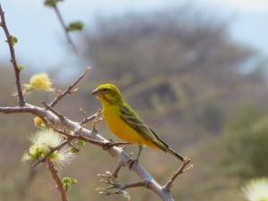 Gelbbauchgirlitz_Yellow canary_Crithagra flaviventris