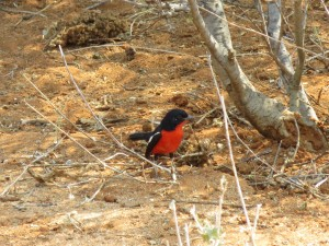 Rotbauchwürger_Crimson-breasted Shrike_Laniarius atrococcineus