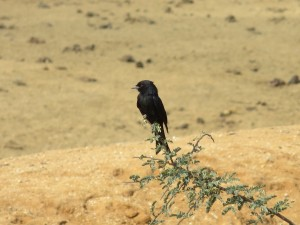 Trauerdrongo_Fork-tailed Drongo_Dicrurus adsimilis