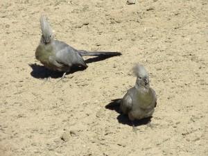 Graulärmvogel_Grey Go-Away bird_Corythaixoides concolor