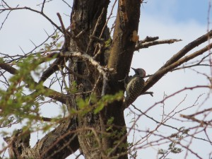 Kardinalspecht_Cardinal Woodpecker_Dentropicus fuscescens