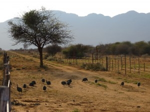 Gruppe von Perlhühnern_Helmeted Guineafowl_Numida meleagris