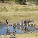 Kudubulle+ Zebras