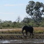 Elefant_Mahango NP