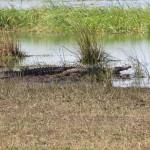 Krokodil_Mahango NP