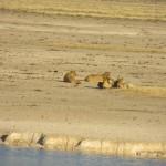 Löwen bei der Mittagsruhe