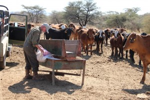 Emanuel bei den Rindern