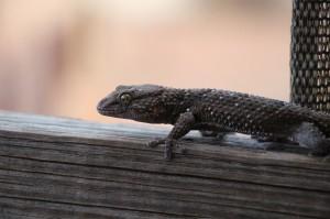 Gecko am Hochsitz-