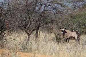 Oryx imBusch