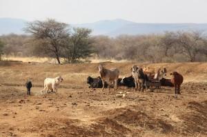 Rinder am Wasserloch