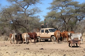 Rinder im Busch