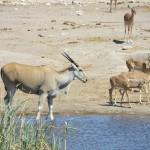 Eland und Impalas am Wasserloch