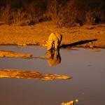 Nashorn nachts am Wasserloch