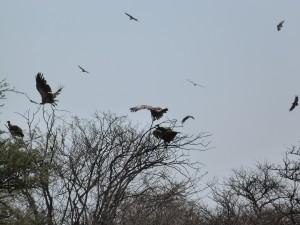 Auffliegende Geier