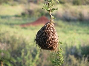 Nest des Maskenwebers