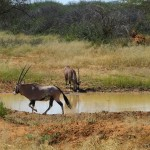 Oryxe am Wasserloch
