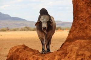 Rind auf einem Termitenhügel