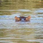 Hippo im Okawango