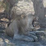 Löwe bei Okondeka