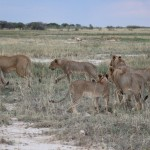 Löwenrudel bei Namutoni