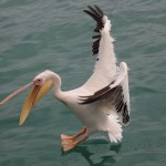 Pelikan fängt Fisch