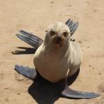 Robbe am Cape Cross