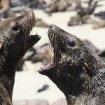 Robben am CapeCross