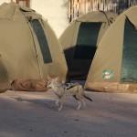 Schakal im Camp Okaukuejo