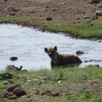 badende Hyäne im Koinachas Wasserloch