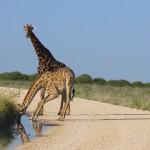 Giraffe trinkt am Fahrweg