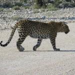 Leopard in Etosha NP