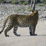 Leopard kreuzt Weg