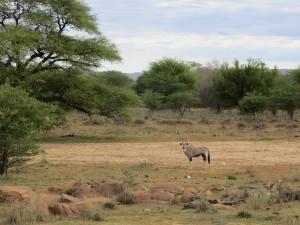 Oryx auf Insel