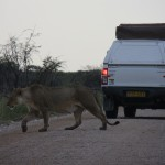 Trächtige Löwin kreuzt Weg