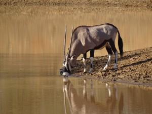 Oryx säuft_