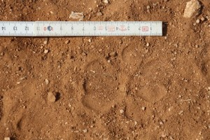 Leopard_Track