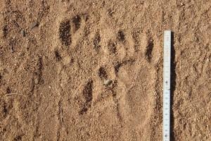 Pavian_Track