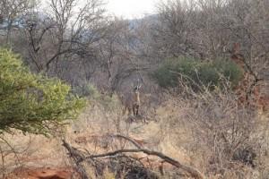 Roanantilope